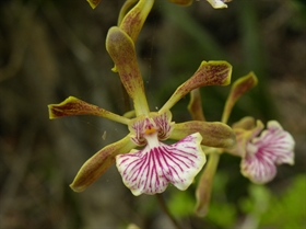 Encyclia gracilis