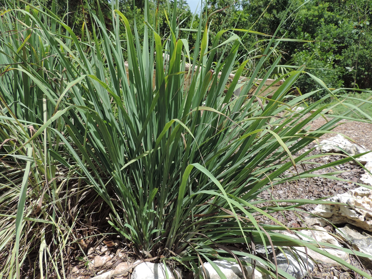 the effectivity of lemon grass cymbopogon Lemon grass is an herb plant that grows 3-6 foot tall, is dark green and clumping, it has a strong lemony scent the blades can be used for teas and various dishes i think its zone 10 or treated as an annual.